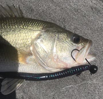 largemouth bass from shearon Harris ate a big shaky head