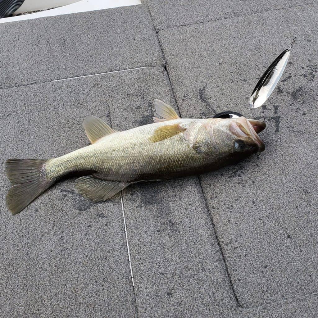 shearon harris largemouth bass on flutter spoon