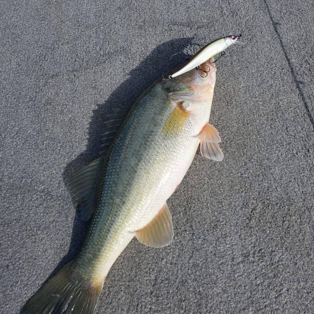 shearon harris bass caught on a jerkbait